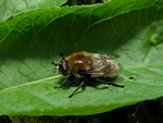 Narcissus bulb fly (Merodon equestris)